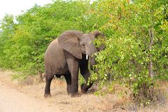 Young African Elephant (Loxodonta africana) Stock Images