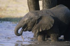 Young African Elephant (Loxodonta Africana) drinking with mother at waterhole Royalty Free Stock Photo