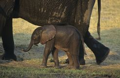 Young African Elephant (Loxodonta Africana) with mother on savannah Royalty Free Stock Images