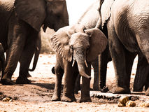 Young african elephant in the middle of family Royalty Free Stock Photo
