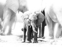Young african elephant in the middle of family royalty free stock photography