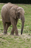 A young African Elephant Royalty Free Stock Photography