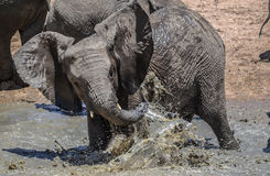 Young African Elephant playing in water Royalty Free Stock Images