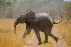 Young African elephant running across track in Pendjari National Park, Benin, Africa. Young African elephant running across track on safari in Pendjari National stock photos