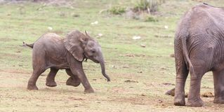 Young  African elephant running Stock Images