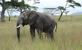 Young african elephant in the Serengeti Stock Photography