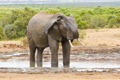 Young African elephant spraying its self with water Stock Photo