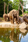 Young African elephant standing near water. Animals in the wild Stock Image