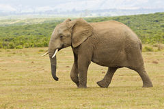 Young African elephant walking on its own. In the hot summers sun on short dry grass Stock Image