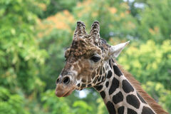 Young African Giraffe Royalty Free Stock Photography