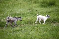 Young african goats running across the meadow Royalty Free Stock Photos