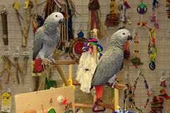 Young African Grey Parrots on Playstand. Young African Grey parrots standing on a playgym stock image