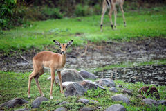 Young African Impala. Image of a young african impala in the savannah near a watering hole Royalty Free Stock Image