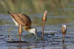 Young African Jacana feeding off water lillies Stock Photography