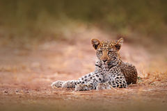 Young African Leopard, Panthera pardus shortidgei, Hwange National Park, Zimbabwe. Beautiful wild cat sitting on the gravel road i Stock Images