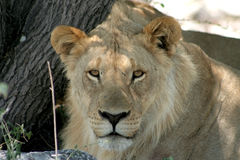Young African Lion Stock Photo