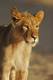 Young African lion Royalty Free Stock Images