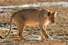 Young African lion Stock Images