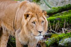 Young African Lion Royalty Free Stock Photo
