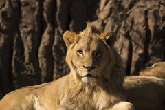 Young African lion male laying watching Stock Photos