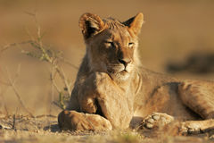 Young African lion Stock Image