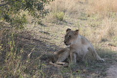 Young African Lioness royalty free stock image