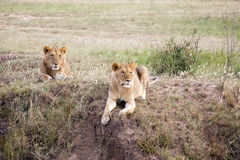 Young african lions (Panthera leo) Stock Photography