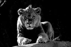 Young African Male Lion sitting on rock. Young Male lion on rock black and white royalty free stock photography