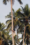 Young African man climbs up the coconut palm. Zanzibar, Tanzania - February 18, 2008: One unknown young African man, approximate age 25-30 years, climbs up the Royalty Free Stock Image