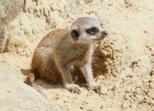 Young African Meerkat (Suricata suricatta) Stock Images