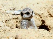 Young African Meerkat (Suricata suricatta) Royalty Free Stock Image