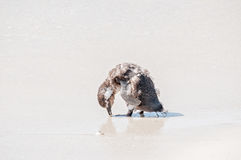 Young African Penguin Stock Photography