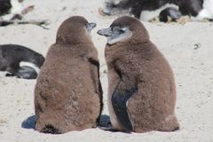 2 Young African Penguins. Juvenile jackass penguins next to each other on Boulders Beach, South Africa Royalty Free Stock Image