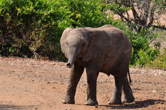 Young african savanna elephant in Kruger NP.South Royalty Free Stock Images