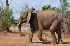 Young african savanna elephant in Kruger NP.South Stock Photography