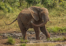 Young african savannah elephant bull at a waterhole spraying mud on his body as sun protection at the Hluhluwe iMfolozi Park Stock Photography