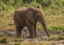 Young african savannah elephant bull at a waterhole spraying mud on his body as sun protection at the Hluhluwe iMfolozi Park Stock Images