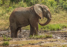 Young african savannah elephant bull at a waterhole spraying mud on his body as sun protection at the Hluhluwe iMfolozi Park Stock Photo