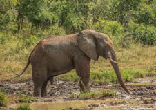 Young african savannah elephant bull at a waterhole spraying mud on his body as sun protection at the Hluhluwe iMfolozi Park Royalty Free Stock Image