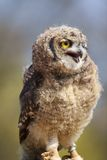 Young African Spotted Eagle Owl Stock Images