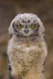 Young African Spotted Eagle Owl Royalty Free Stock Photo