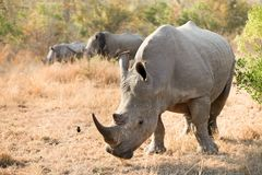 Young African White Rhino in a South African Game Reserve stock images