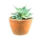 Young Agave plant on white background Royalty Free Stock Photos