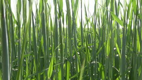 Young  agriculture plant barley abstract background stock video footage