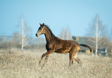 Young akhal-teke colt runs free in the spring field Stock Image