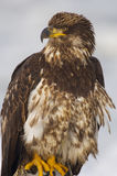 Young Alaskan Bald Eagle, Haliaeetus leucocephalus. On log on beach withe blue water background stock photos