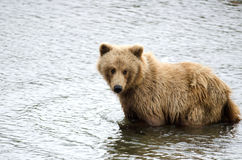 Young Alaskan brown bear Stock Photography