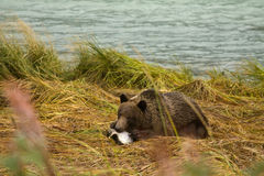 Young Alaskan Brown Bear feasting on a fresh caught salmon, Chilkoot River. Haines, Alaska Royalty Free Stock Photo