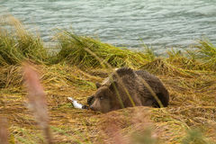 Young Alaskan Brown Bear keeping an eye out while feasting on fresh caught  salmon, Chilkoot River. Haines, Alaska Stock Image