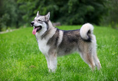 Young Alaskan Malamute. On a walk in a park Stock Image
